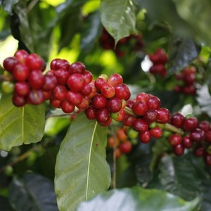 Costa Rica Cooperative Libertad Swiss Water Decaf